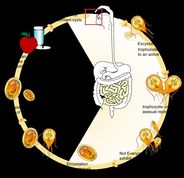 паразиты и глисты в организме человека